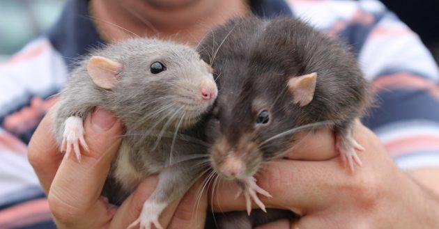 rattenscharfer_teaser
